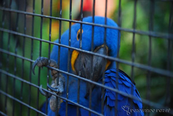 Arara Azul no Viveiro do Parque das Aves em Foz do Iguaçu Parque das Aves em Foz do Iguaçu: quando pássaros voando valem mais do que na mão