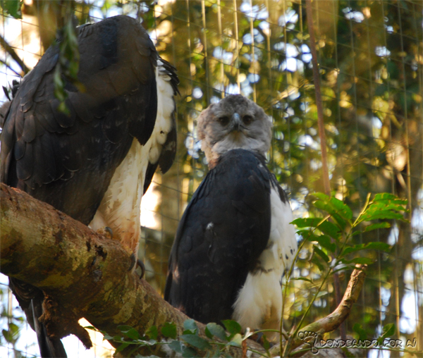 Harpias do Parque das Aves Foz do Iguaçu Parque das Aves em Foz do Iguaçu: quando pássaros voando valem mais do que na mão