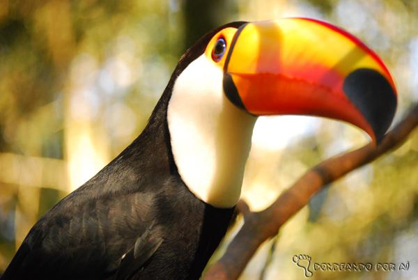 Tucano no Parque das Aves Foz do Iguaçu Parque das Aves em Foz do Iguaçu: quando pássaros voando valem mais do que na mão