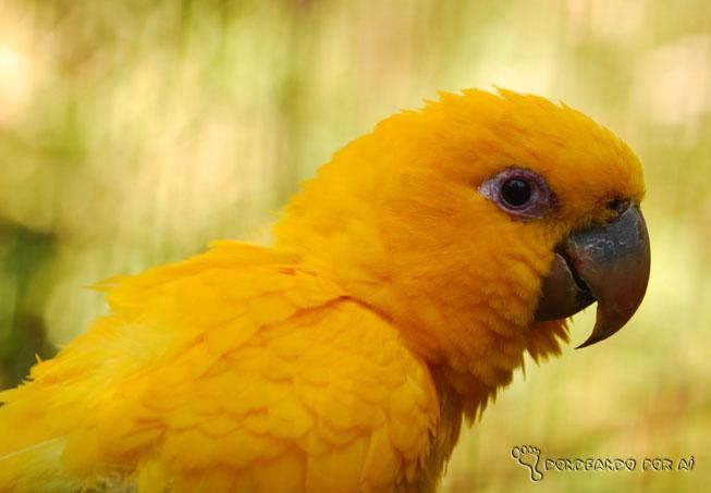 canario amarelo foz do iguaçu