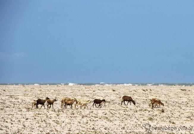 cabras na Praia caminho dos pequenos lençóis maranhenses
