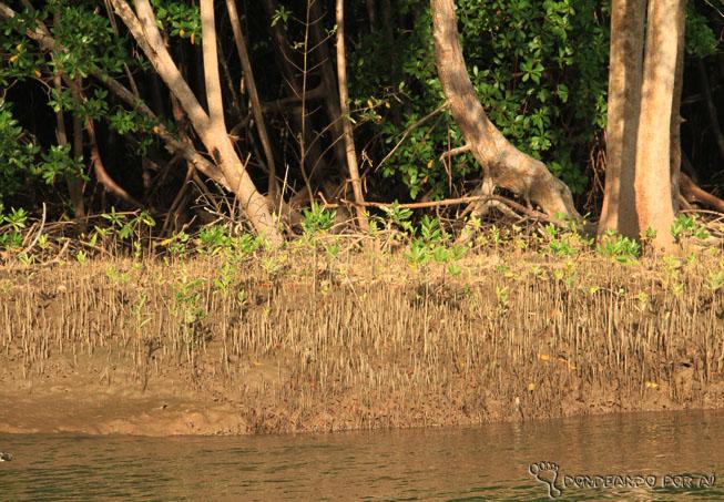 margens lamacentas e maré baixa - carangueijo catar delta do parnaíba