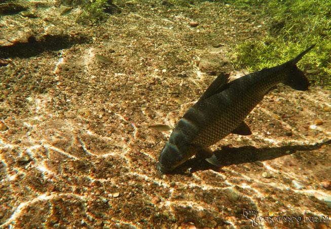peixe no rio da prata início
