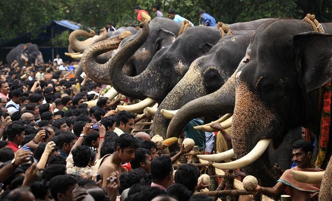 Cerimônia com elefantes em Kerala. Crédito da Foto: departamento de mídia da Kerala Tourism.