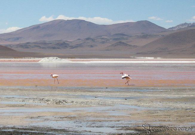 Casal de flamingos bolívia